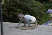 U7R Pairs Capuchin pygmy marmoset available 07031956739